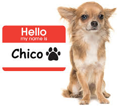 Dogs That Shed The Least Amount by 60 Amazing Facts About Chihuahuas That You Didn U0027t Know