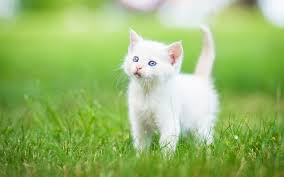 cat cat wallpaper hd for desktop of white kitten