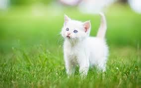 cat cat wallpaper hd for desktop of white kitten