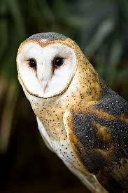 67 Best Owls Images On Pinterest | Barn Owls, Children And Stock ... Watch The Secret To Why Barn Owls Dont Lose Their Hearing 162 Best Owls Images On Pinterest Barn And Children Stock Photos Images Alamy Owl 10 Fascating Facts About Species List Az 210 Birds Drawing Photographs Of Cave By Tyler Yupangco 312 Beautiful Birds