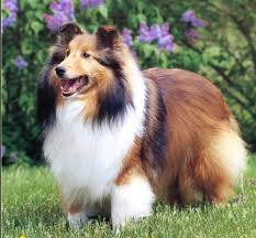 Sheltie Shedding Puppy Coat by Saved By Dogs Kinds Of Collies Big Or Little Something For Most