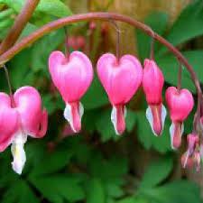 coeur de en pot coeur de entretien plantation floraison