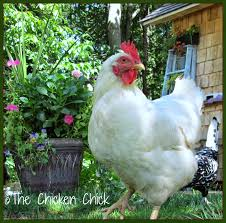 To Me, Raising Chickens Naturally Means Addressing Health-keeping ... Why Should You Compost Chicken Manure Is Naturally High In 1105 Best Backyard Project Images On Pinterest Raising Baby Chick Playground Coops Pet Chickens And Worming Backyard Controversial Here Are Tips How To Naturally Treat Coccidiosis Your Chickens Natural Treatment Of Vent Prolapse Ducks 61 To Me Raising Means Addressing Healthkeeping Deworming Homesteads