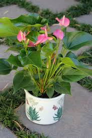 the house plant anthurium andreanum by the gardening