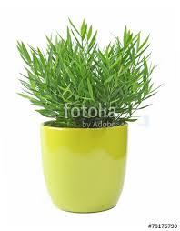 bambou nain en pot photo libre de droits sur la banque d images