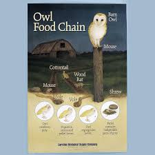 Owl Food Chain Poster | Carolina.com Attracting Barn Owls Natural Rodent Control Gardening Energy Transfer And The Carbon Cycle Worksheet Edplace Tritec Science Learning Community Projects Organisms Roles Loss In Food Chain Ecology Biology Lecture Slides Outreach Materials Owl Original Mixed Media Pating 6x8 Inches Bird Wild Decomposers Worksheets For Kids Archbold Biological Station 14 Images Of Wetland Coloring Pages Diagram 037_13d0568f9211773be9a9d4d89c530b2png