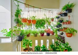 Home Grown Flowers And Herbs In The Hanging Pots At Balcony Ang Mo Kio Area