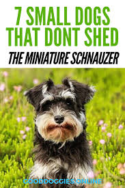 Miniature Dog Breeds That Dont Shed by 7 Adorable Small Dogs That Don U0027t Shed Good Doggies Online