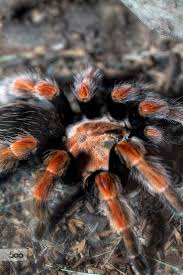 Pumpkin Patch Tarantula Scientific Name by 801 Best Spiders Images On Pinterest Insects Spider Webs And