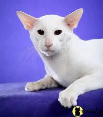 shorthair cat price kitten for shorthair kittens for 9
