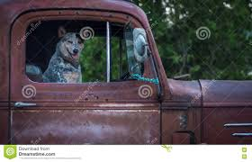 100 Truck Dog In Old Red Pickup Stock Photo Image Of Ride Pickup