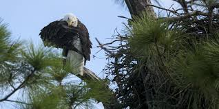 Mckee Ranch Pumpkin Patch 2015 by Southwest Florida Eagle Cam Back For Sixth Season