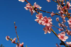 Free branch plant sky flower petal bloom food spring