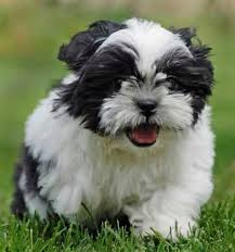 Non Shedding Hypoallergenic Dogs by Hypoallergenic Dogs Low Shedding Dogs Hubpages