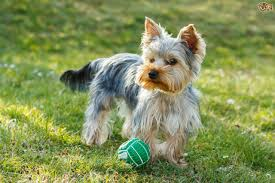 Small Dogs That Dont Shed Hair by Yorkshire Terrier Dog Breed Information Buying Advice Photos And