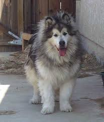 Do Malamutes Shed Hair by Malcoatcolor