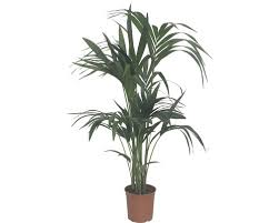 howea palme kentia palme floraself howea forsteriana h 100 110 cm ø 19 cm topf