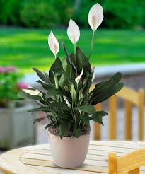 Best Plant For Bathroom by Bathroom Peace Lily 1 Best Bathroom Plants 2017 21 Best Bathroom