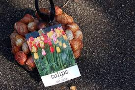 dirt therapy planting tulips