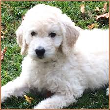 Non Shedding Dog Breeds Small by Knight Goldendoodles The Best F1b Goldendoodles In North
