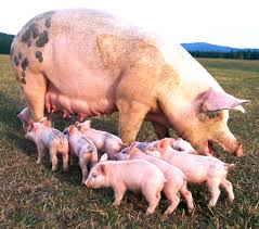 Pin By Pat Wozniak On Pork | Pinterest | Business Planning ... Pin By Pat Wozniak On Pork Pinterest Business Planning Afc Pig Farm Ecomavrovic How To Raise Pastured Pigs Without Buying Feed Httpwww Tammi Jonas Food Ethics Farming Plan Sample Dsc Raising Pros Cons The Prairie Homestead Figueroa Breeding Gguinto Bulacan Youtube Gloucestershire Old Spot Pigs And That Farm There Was To Make Your Own Pig Feed The Organic Farmer Heaven What Makes Free Range Different Downtoearth 54 Best Images Farming Backyard In Nigeria Detail Post Practical Traing Its Time Front Yard Farmer