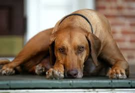 28 best akc hound group images on pinterest the breed daily