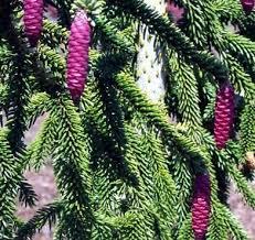 Picea Orientalis Pendula Weeping Oriental Spruce
