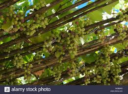 Grapes Grow On Vines Draped Over A Patio Arbor At Tuscan Villa