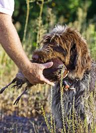 Griffon German Wirehaired Pointer Shedding by Captured By The Griff