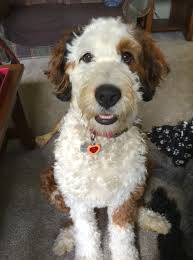 Do F1 Sheepadoodles Shed by Image Result For Bernedoodle Haircuts Dogs Pinterest Dog And