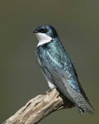 Tree Swallow | Audubon Field Guide Union Bay Watch Surround Sound The Color Is So Beautiful Birds Pinterest Tree Swallow Easy Tips To Attract Swallows Swifts And Martins Feather Tailed Stories 2017 Barn Swallow Migration Annual Cycle Audubon Guide North American Fledgling Feeding Time Youtube Petting A Baby Hinterland Whos Who Eating Insects Barn Nextdoor Nature