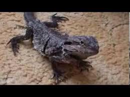 Bearded Dragon Shedding Help by Bearded Dragon Shedding Its Skin Youtube