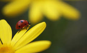 Attracting Insects To Your Garden by How To Attract Ladybugs To Your Garden Mnn Mother Nature Network