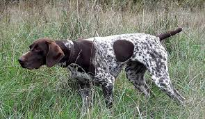 german shorthaired pointer shed german shorthaired pointer breed standards