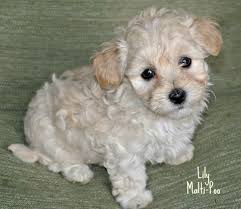 Non Shedding Dog Breeds Small by The 25 Best Small Poodle Ideas On Pinterest Small Puppy Breeds