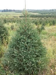 Canaan Fir Christmas Tree Needle Retention by Live Trees U2013 Showers Tree Farm