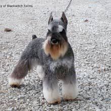 Do Giant Schnauzers Shed by Miniature Schnauzer Puppies For Sale