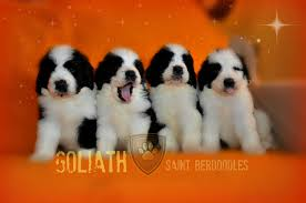 Non Shedding Small Dogs For Adoption by Goliath Saintberdoodles