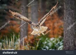 Flying Eurasian Eagle Owl Colorfull Winter Stock Photo 304031924 ... Flying Eurasian Eagle Owl Colorfull Winter Stock Photo 304031924 Barn Facts Pictures Diet Breeding Habitat Behaviour Best 25 Owl Sounds Ideas On Pinterest Owls Beautiful Wowzers Blog Centre Gloucester Wikipedia 10 Fascating About Bckling Estate A Barn Owls Home National Trust Birds Of Prey Shavers Creek Raptor Center Kohrphotos The Barn Owl Wallpapersbirds Unique Nature Hd Wallpapers