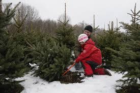 Nordmann Fir Christmas Tree Smell by Guide To U Cut Christmas Tree Farms Cbs Seattle