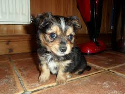 Non Shedding Small Dogs For Adoption by Chorkie Yorkie Chihuahua Mix Info Temperament Puppies Pictures