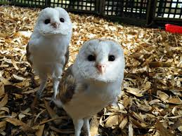 Best 25+ Baby Barn Owl Ideas On Pinterest | Beautiful Owl, Owls ... Catching Prey In The Dark Barn Owl Tyto Alba Owls Make A Comeback Iowa The Gazette Of Australia Australian Geographic How To Build Or Buy Nest Box Company Best 25 Ideas On Pinterest Beautiful Owl Owls And Modern Farmer Absolutely Stunning Barn Drawing From Artist Vanessa Foley Audubon California Starr Ranch Live Webcams Red By Thef0xdeviantartcom Deviantart Tattoo Scvnewscom Opinioncommentary Beautifully Adapted 9 Best Images A Smile Animal Fun