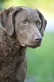 Chesapeake Bay Retriever Molting by 180 Best C A V E C A N E M Images On Pinterest Dog Breeds