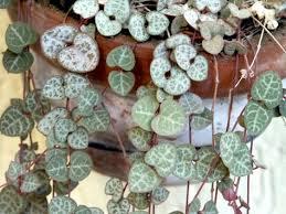 entretien plante grasse d interieur conseils de culture et d entretien pour le ceropegia ou chaîne des