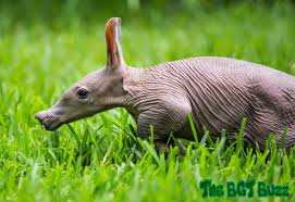 Halloween Busch Gardens 2014 by The Bgt Buzz Busch Gardens Tampa Welcomes Aardvark Baby