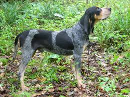Do Bluetick Coonhounds Shed by Black And Tan Coonhound Photo Coonhound Puppies Black And