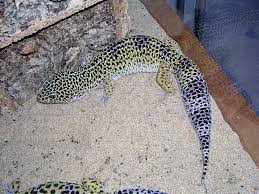 Crested Gecko Shedding Behavior by The Differences Between African Fat Tails And Leopard Geckos