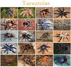 Pumpkin Patch Tarantula Bite by Animals Tarantulas Quiz By Kfastic