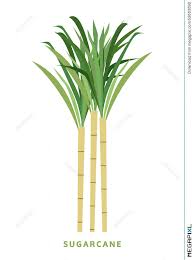 Sugarcane Cane Vector Illustration Symbol