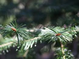 Best Kinds Of Christmas Trees by Finding The Right Christmas Tree For Your Home Nebraska Forest
